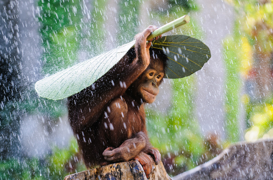 Camera Tinh Te_National Geographic Photo Contest 2015_Orangutan in the Rain.